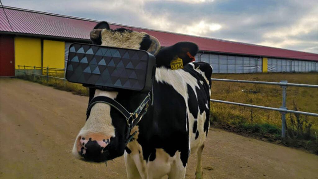 vr untuk sapi perah